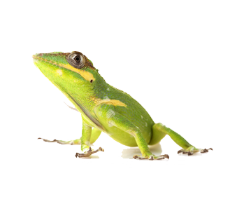 vector free library Knight Anole