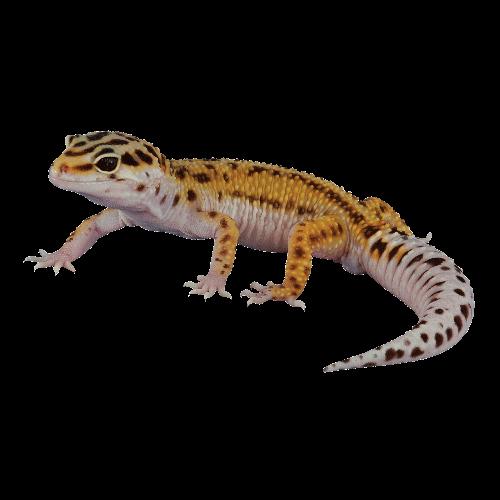 clip art Leopard Gecko