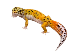 picture royalty free library transparent lizard translucent #117040677