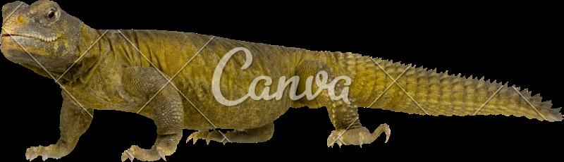 picture transparent Dabb Lizard
