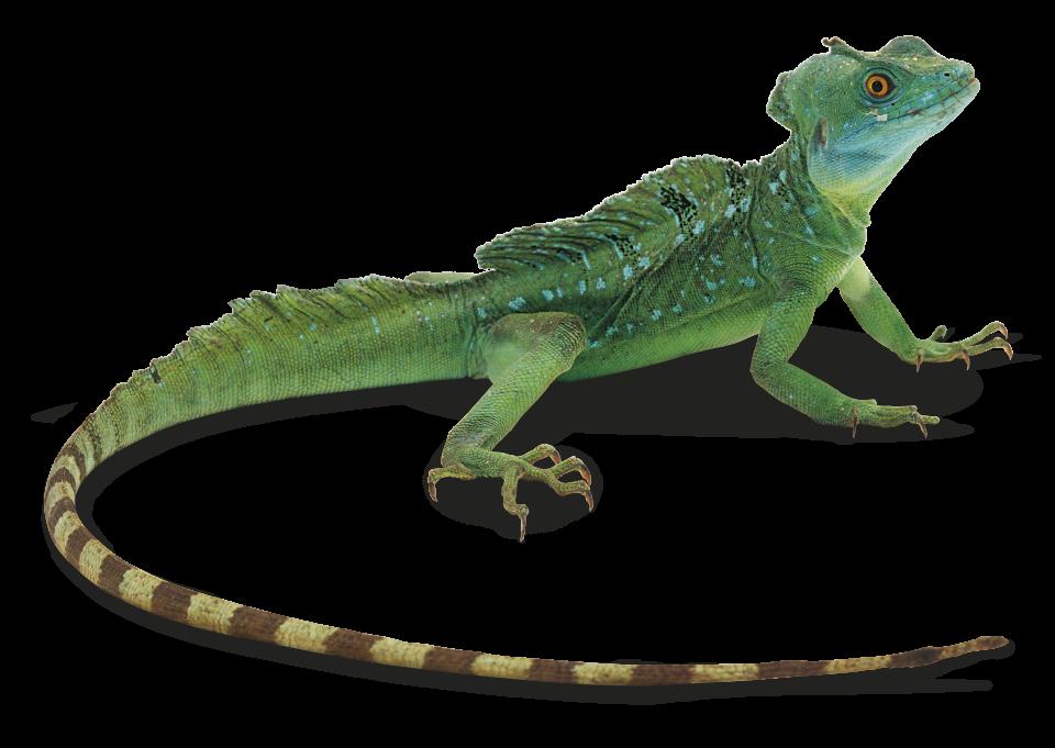 clipart transparent download Facts About Lizards