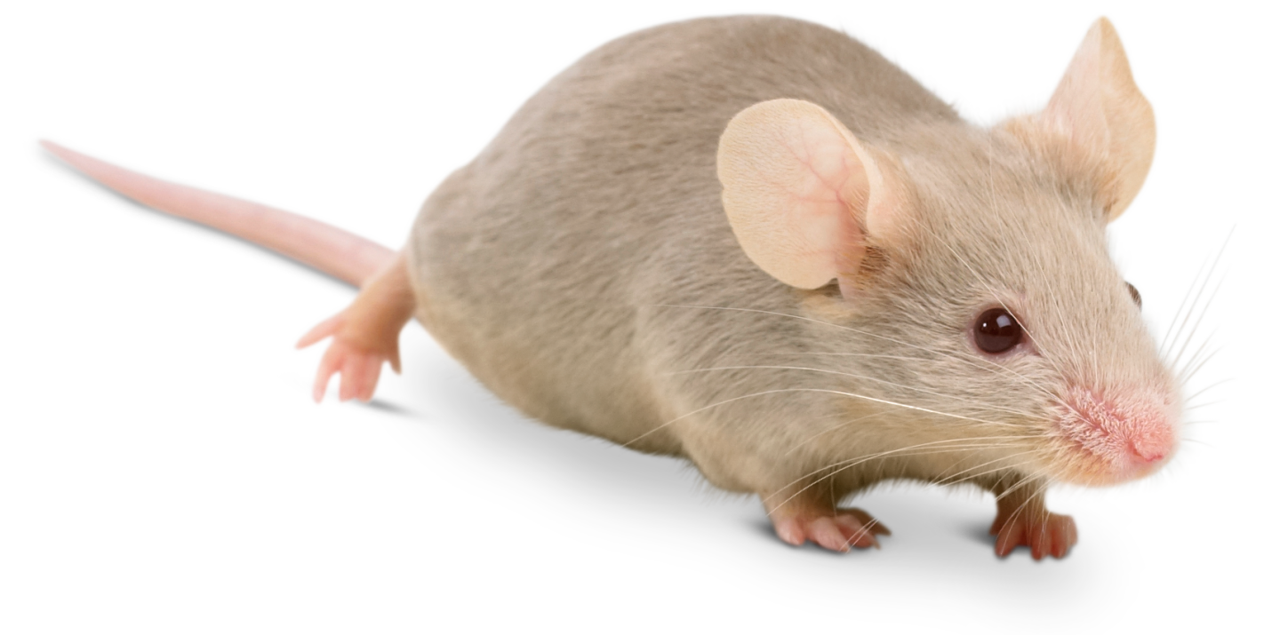 banner library Transparent mice. House facts about dk
