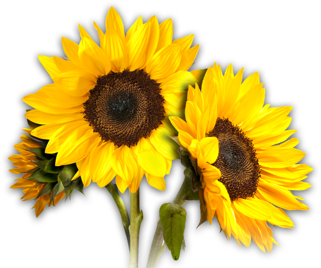 clipart library library Sunflowers png free download on mbtskoudsalg