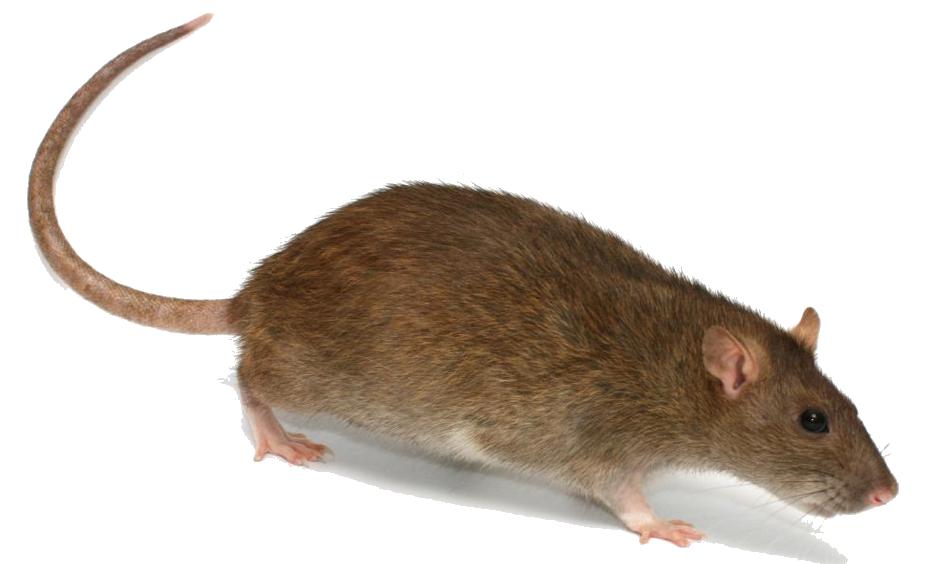 image free download Rat PNG Images Transparent Free Download