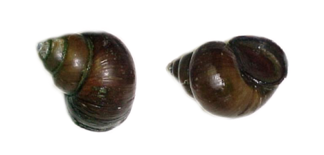 svg royalty free Chinese Mystery Snail