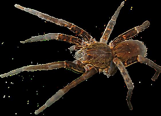 clip art transparent stock ftestickers spider tarantula insects spiders tarantulas