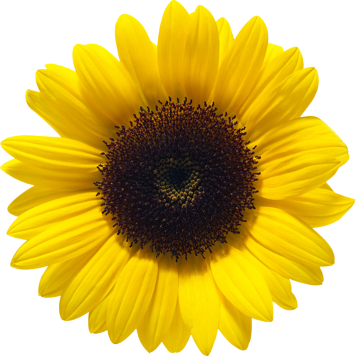 jpg black and white download Sunflower PNG Image