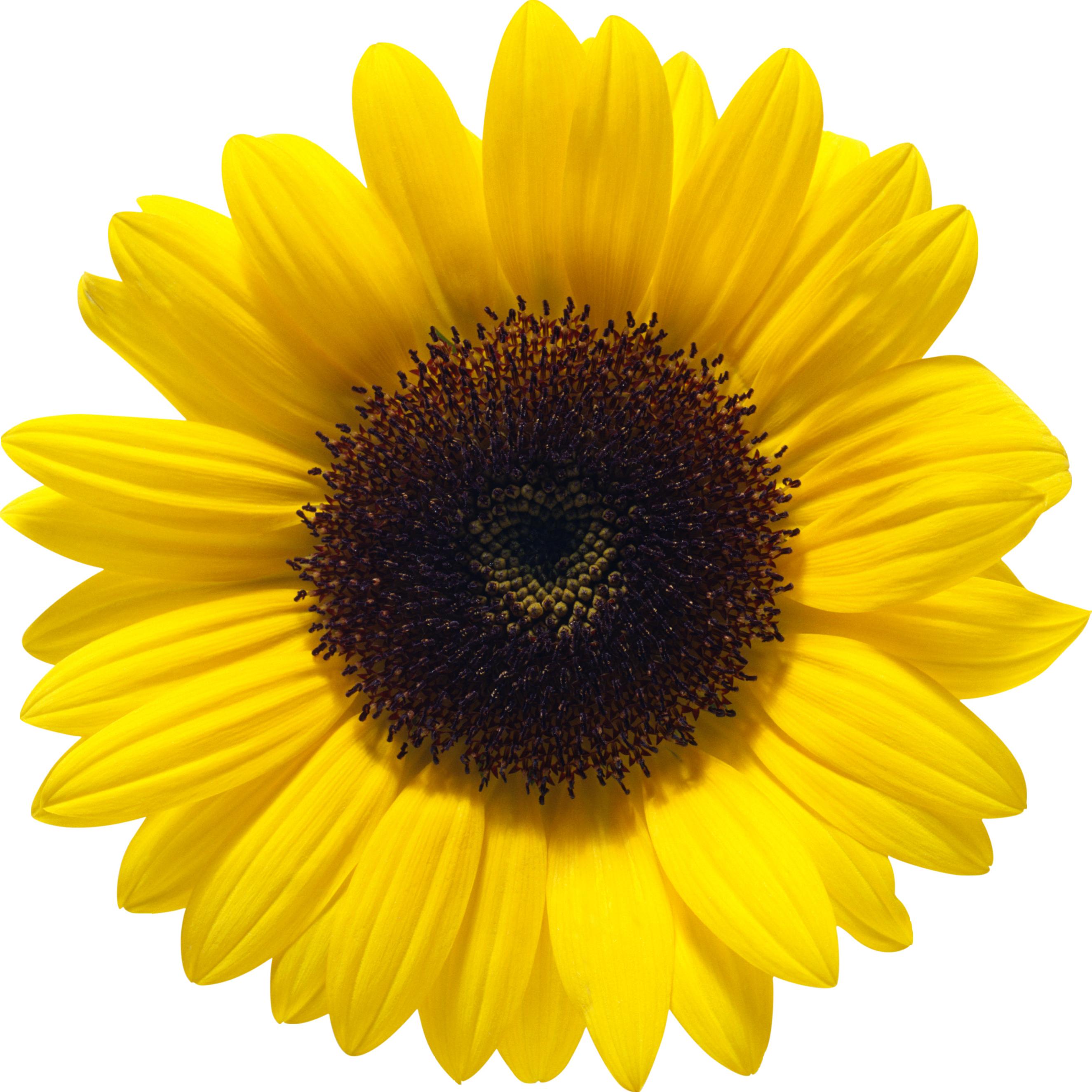 svg transparent transparent sunflower clear background #117455779
