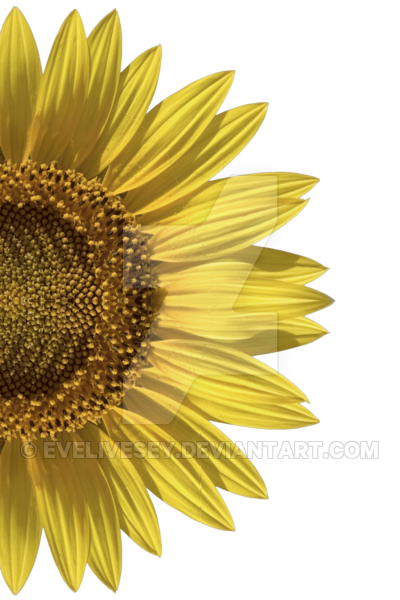 black and white download Sunflower Half PNG by EveLivesey on DeviantArt