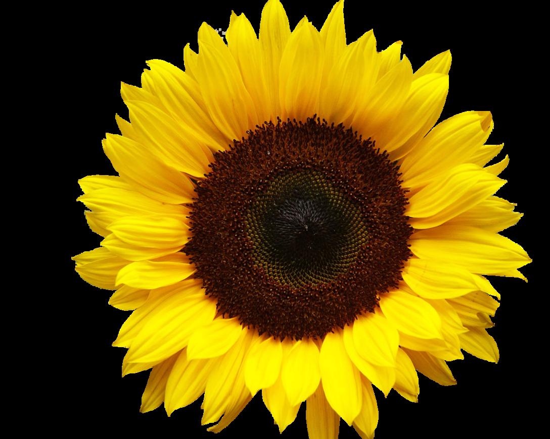 clip art black and white Download Common sunflower Clip art