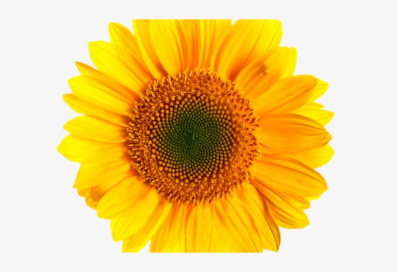 image freeuse download Sunflowers Clipart Transparent Background