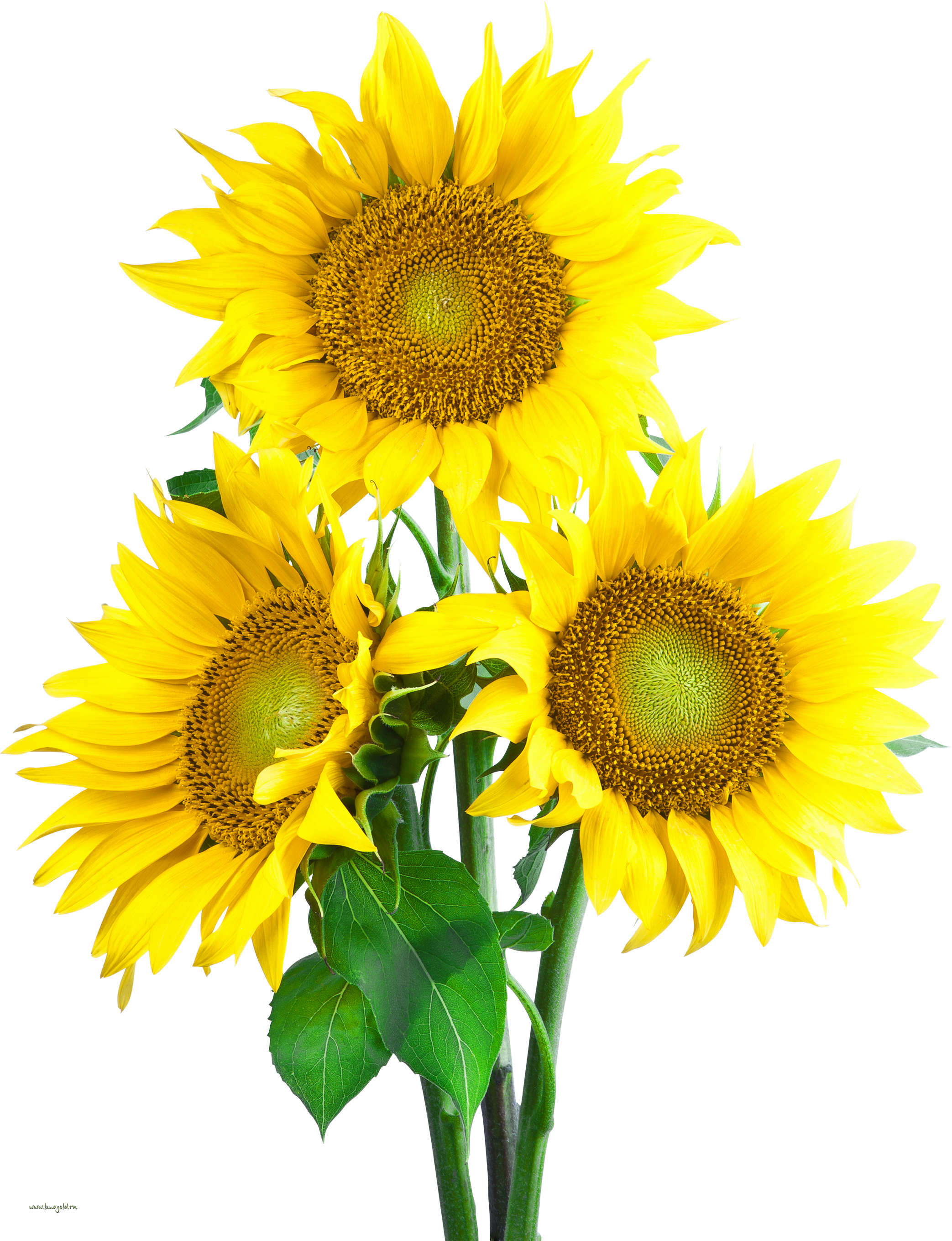 picture free library Sunflower PNG Image