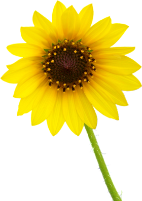 clipart royalty free Sunflower PNG images transparent background