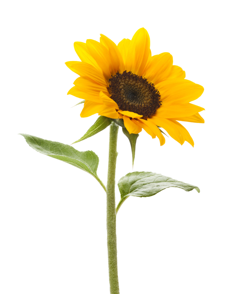 graphic free library Sunflower Transparent Background