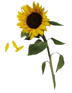 clip art black and white Sunflowers PNG Transparent Images