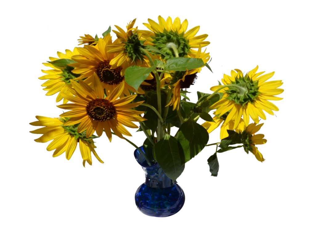 image transparent download Sunflowers in Vase PNG Stock
