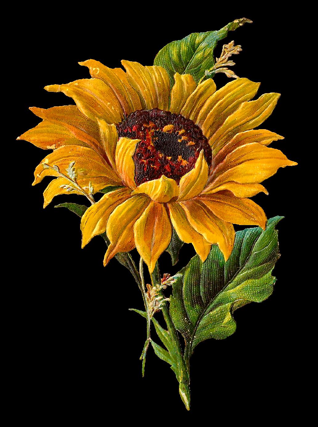 image transparent transparent sunflowers vintage #117463399