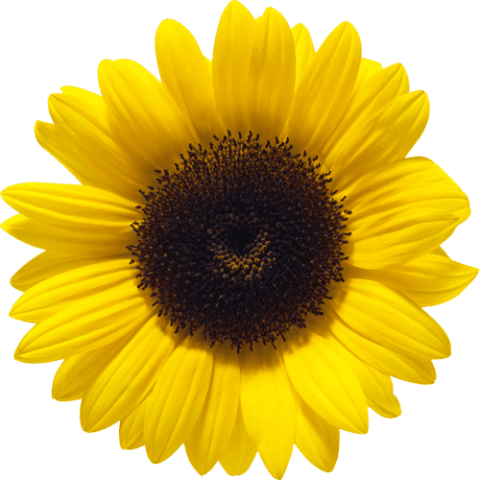 picture library download sunflower png