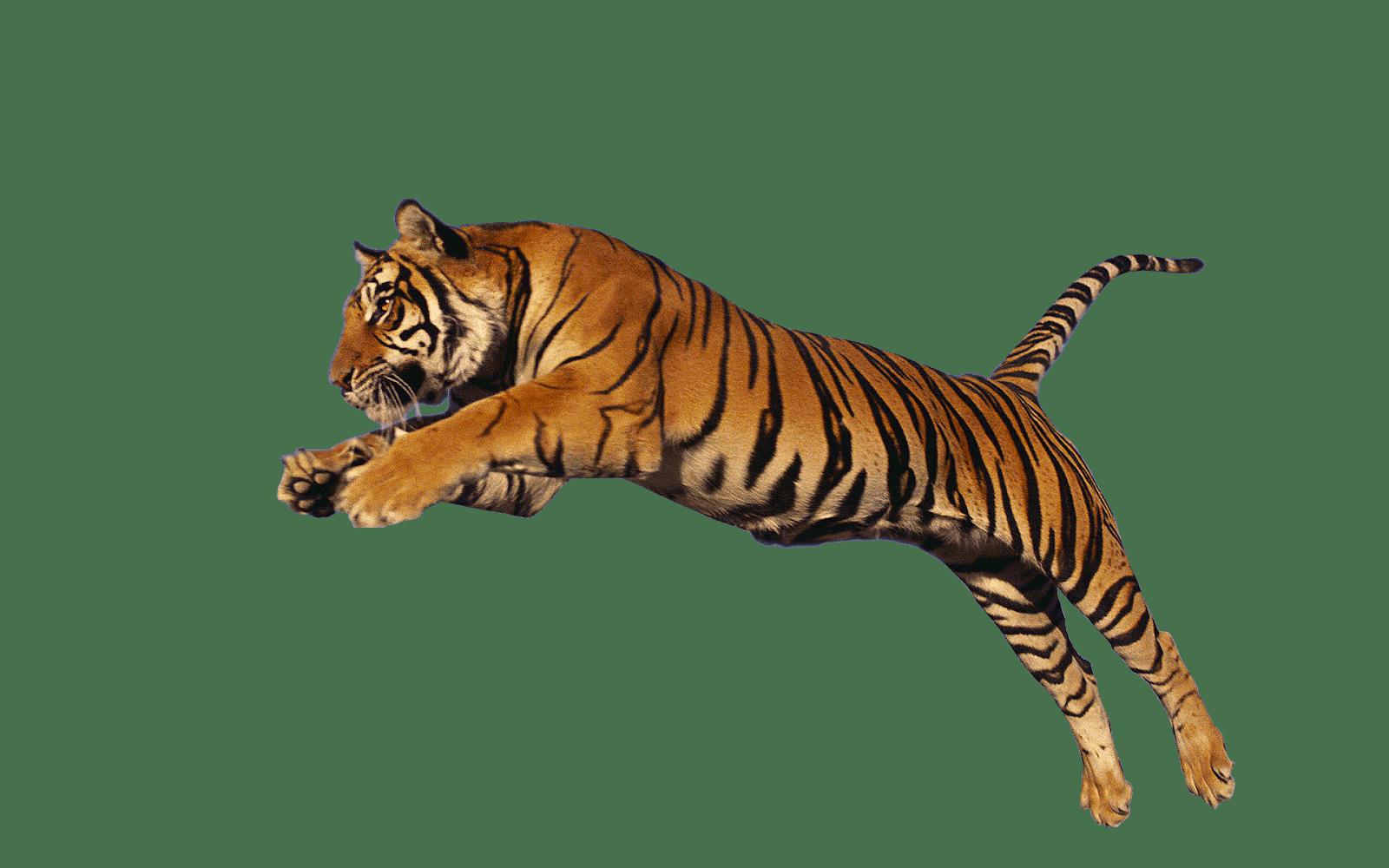 image download Transparent tiger. Tigers png images stickpng