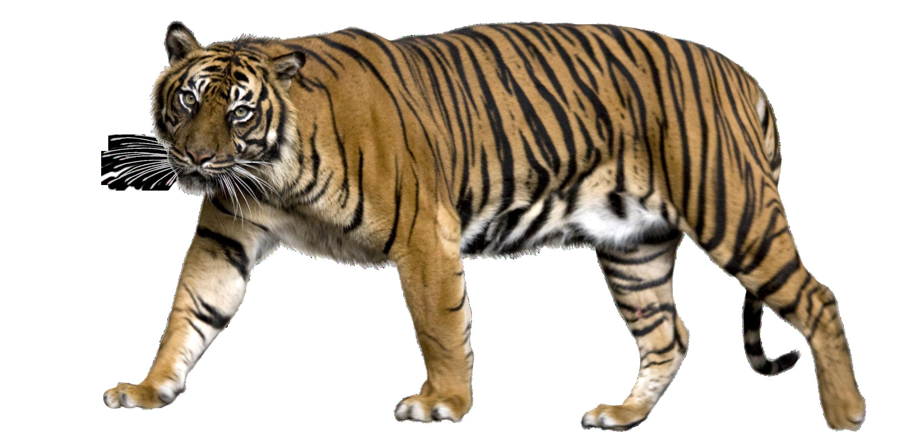 image Transparent tiger. Lion sumatran jaguar liger
