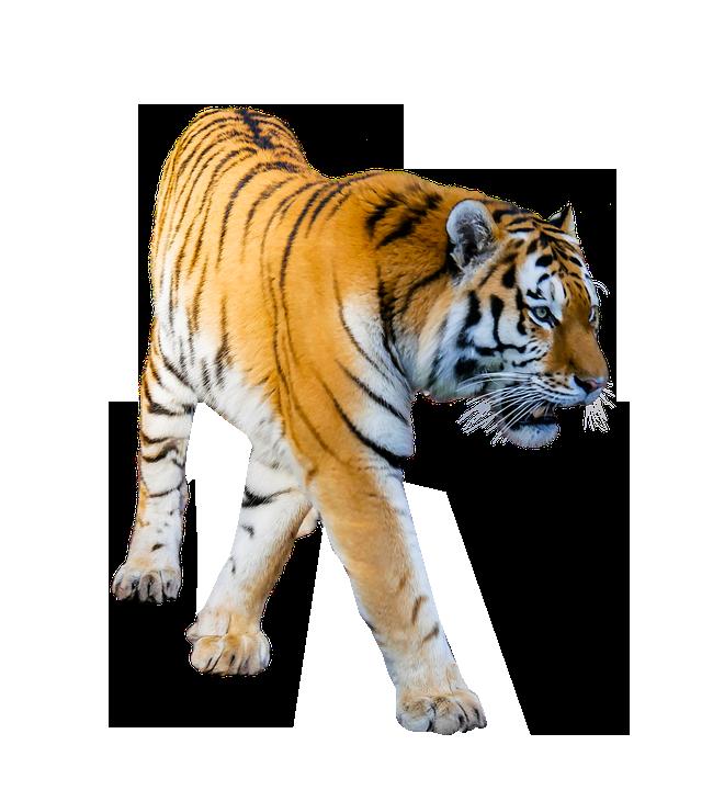 clip art transparent library Transparent tiger. Prowling background image png