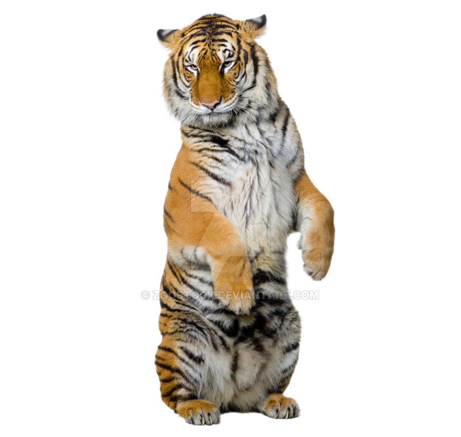 graphic library Transparent tiger. Sitting on a background