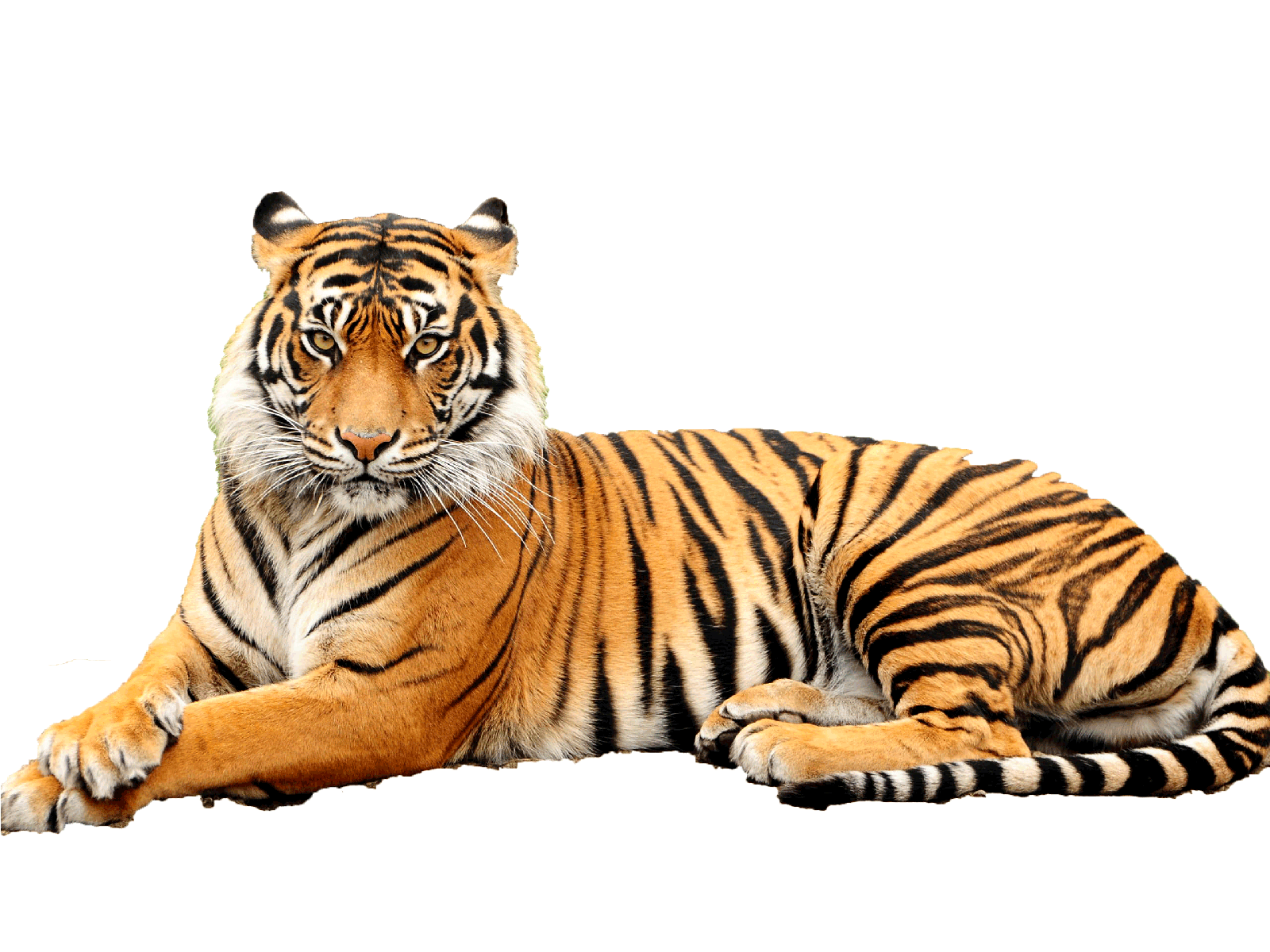 clipart transparent Transparent tiger. Png images free download
