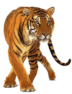 graphic royalty free stock Tiger PNG image