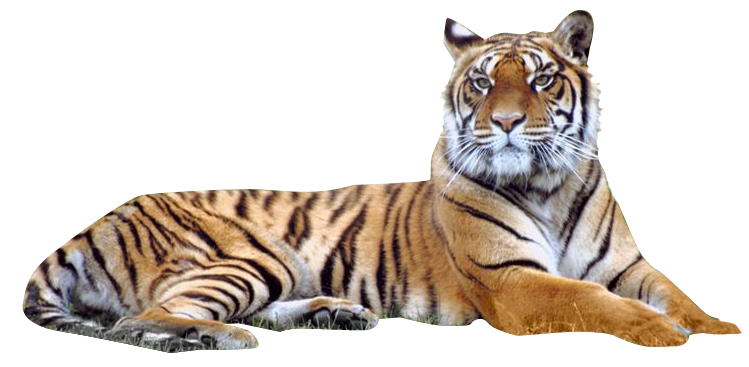clip art black and white stock Transparent tiger royal bengal. Png pictures free icons