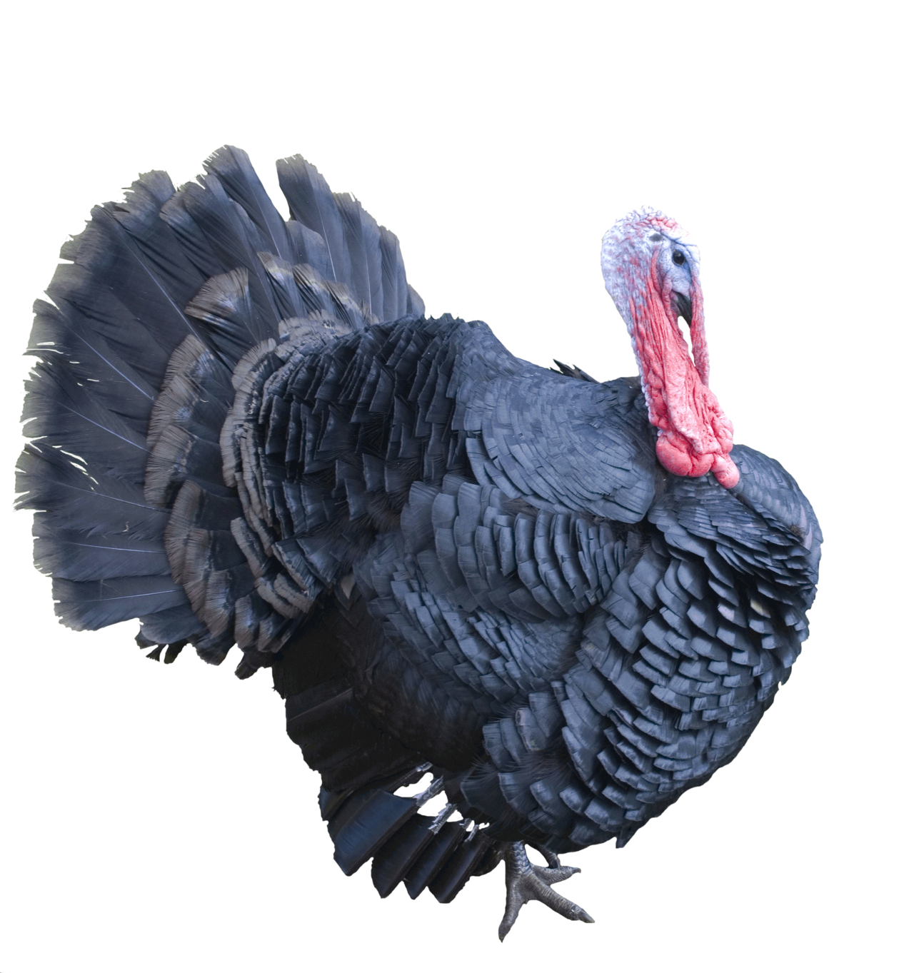 svg free download transparent turkey real #106880026