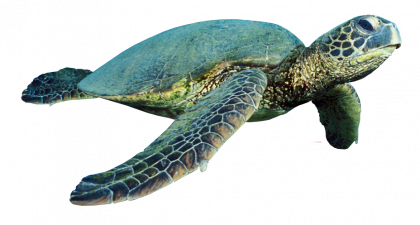 picture free stock Turtle PNG Images Transparent Free Download