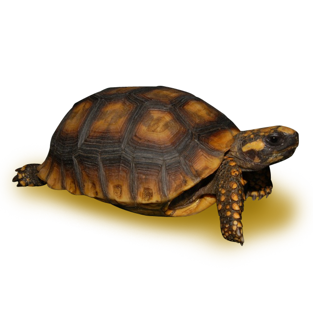 vector library download transparent turtle brown yellow #106890505
