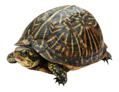clipart library Collection of free Turtle transparent