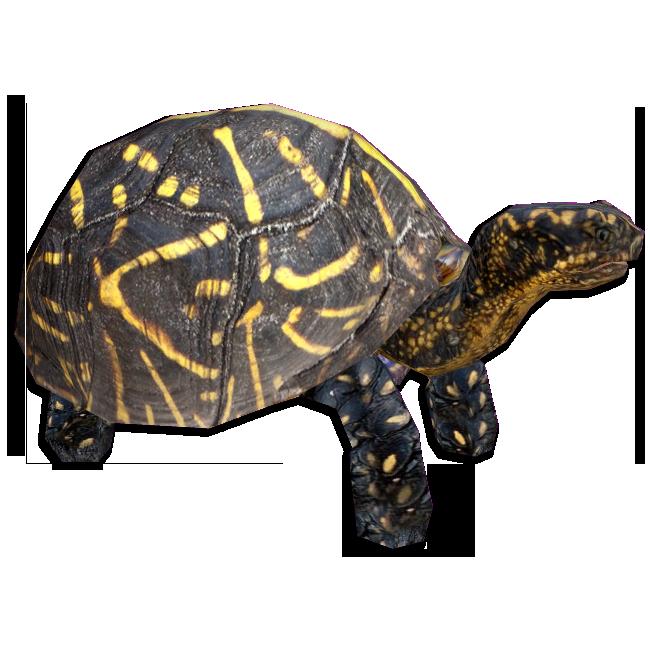 clip free Florida Box Turtle