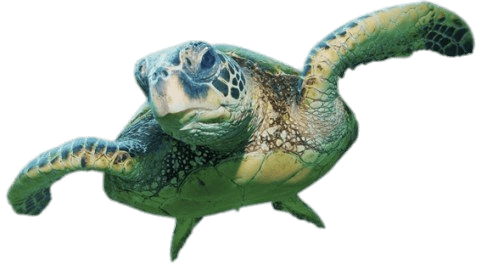 image transparent stock Sea Turtle Front View transparent PNG