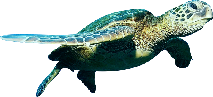 picture freeuse stock Turtle PNG Transparent Turtle