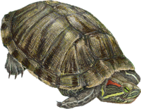 banner free transparent turtle red eared slider #106885032