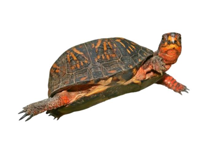 jpg transparent stock Turtle PNG Transparent Turtle