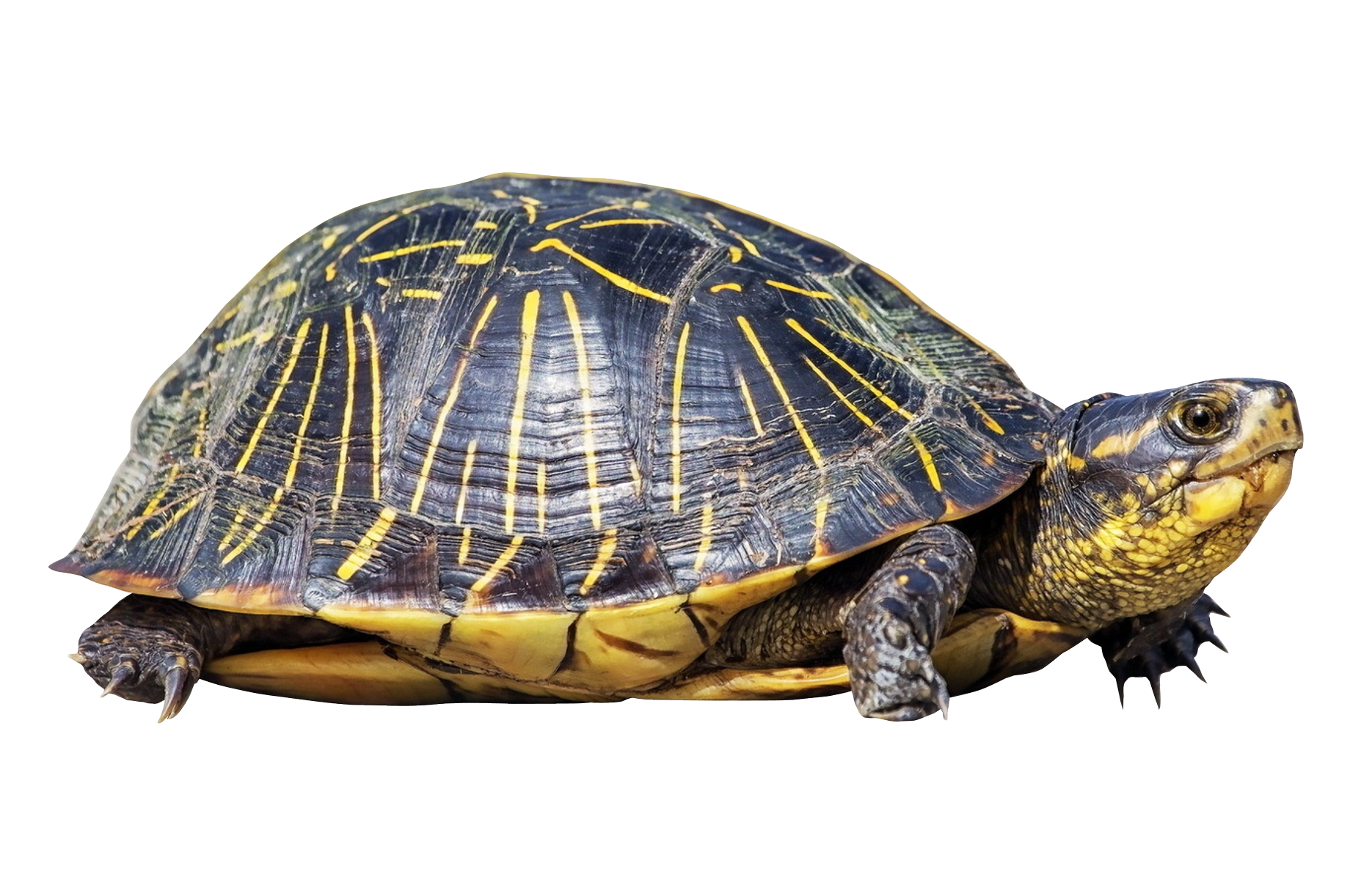 clip art freeuse library Turtle PNG Image