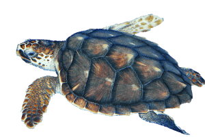 clip royalty free Sea Turtle transparent PNG