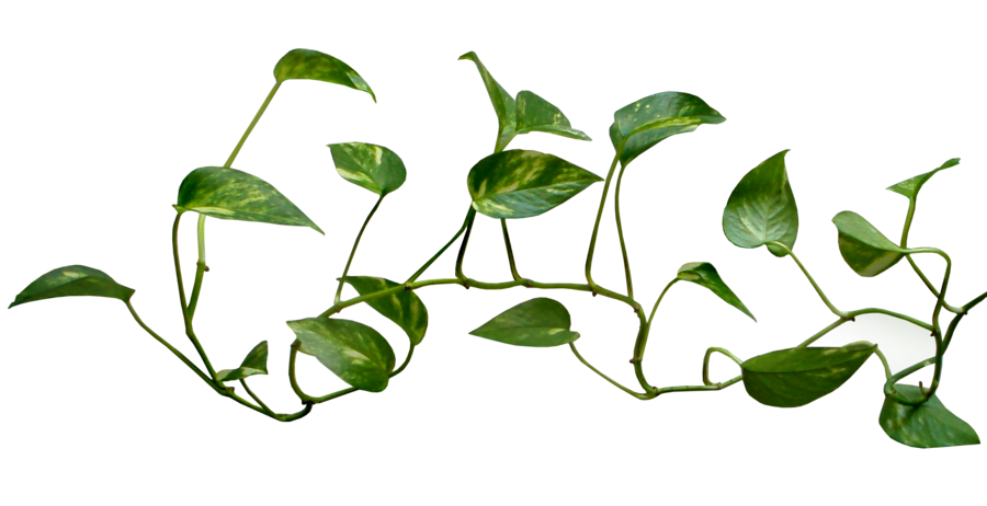 clip library Money Plant vine png transparent