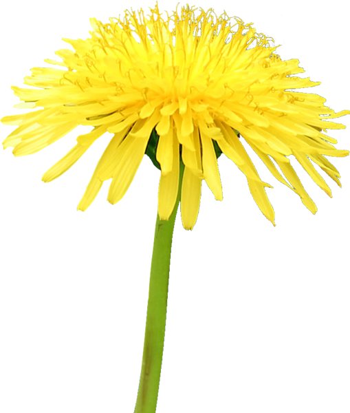 png black and white stock Yellow Flower Dandelion