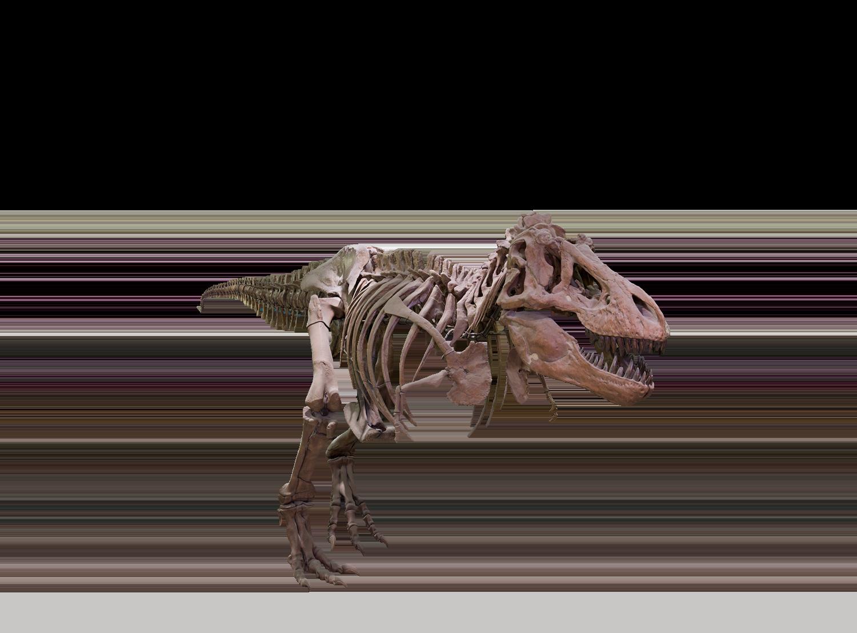png freeuse library Png background image mart. Bones transparent t rex