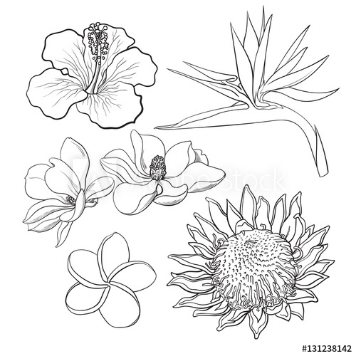 vector black and white download Flowers hibiscus protea plumeria. Tropical drawing exotic flower