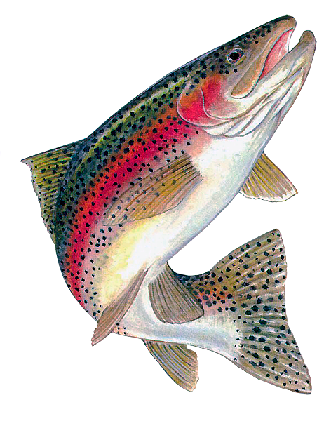 png transparent Trout clipart. Rainbow free on dumielauxepices