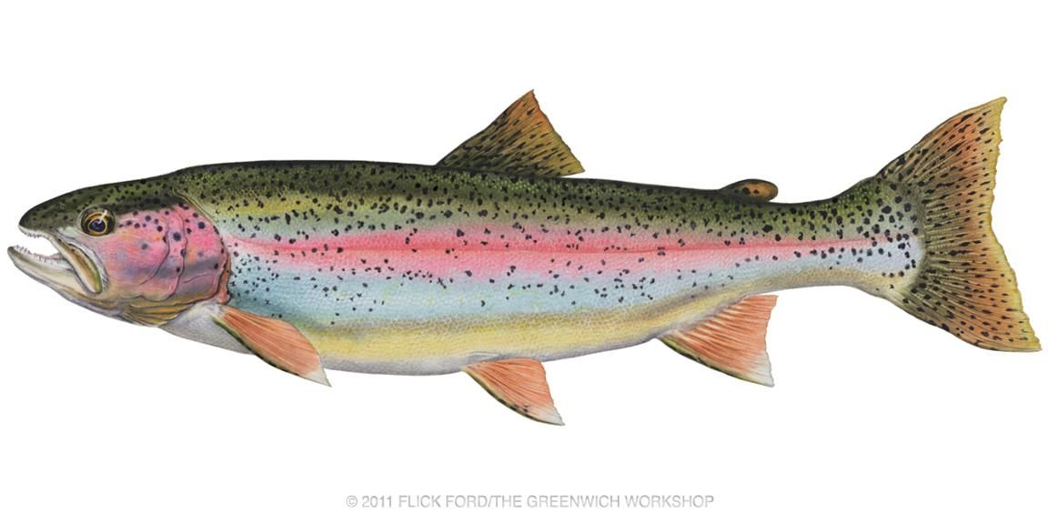 png royalty free download Pin by jim clark. Trout clipart rainbow trout