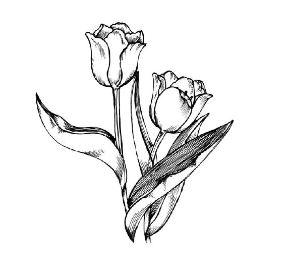 freeuse stock Tulip Drawing Flower Clip art