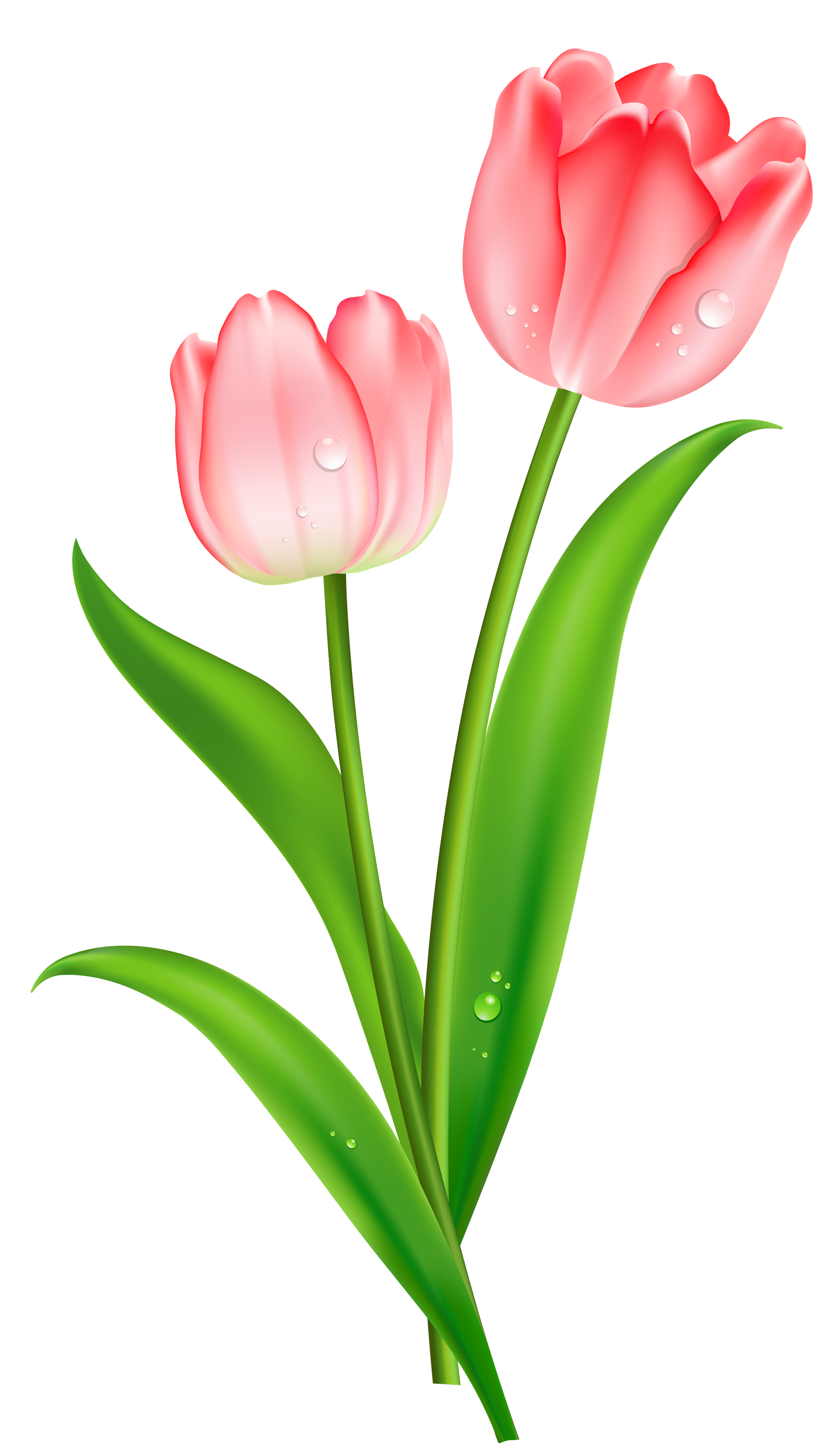 jpg free Tulip png images free. Tulips clipart.