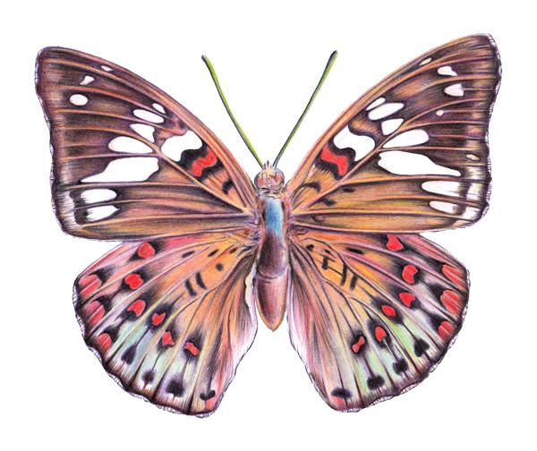 svg free library How to draw a. Types drawing colourful butterfly