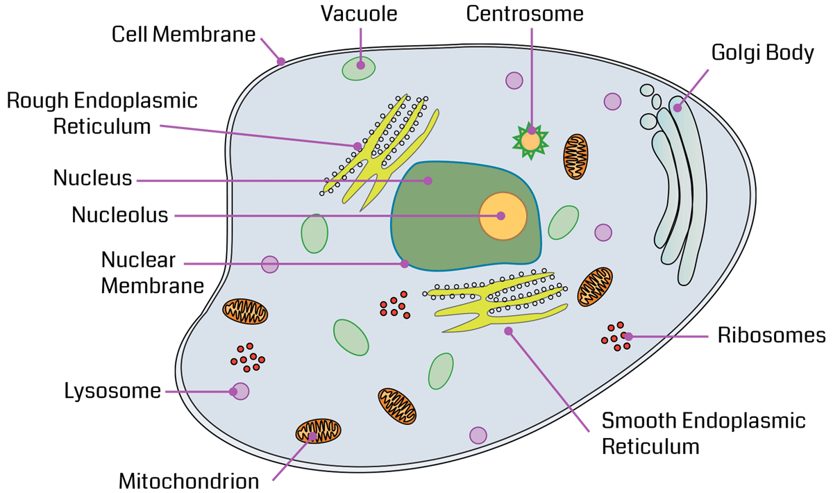 picture freeuse stock ribosome drawing animal cell #102282696